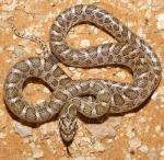 Arizona elegans elegans - Kansas Glossy Snake | Snake Species
