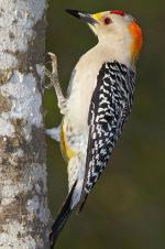 Golden-fronted Woodpecker - Bird Species | Frinvelis jishebi | ფრინველის ჯიშები
