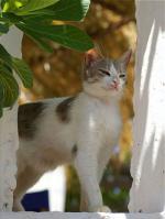 Aegean cat | კატა | კატები | კატის ჯიშები