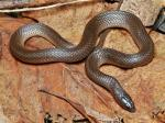 Virginia striatula - Rough Earth Snake | Snake Species
