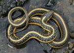 Thamnophis atratus hydrophilus - Oregon Gartersnake - snake species list a - z | gveli | გველი
