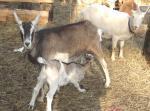 LaMancha Goat - Goats Breeds | txis jishebi | თხის ჯიშები