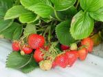 Judibell | Strawberry Species