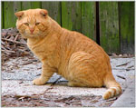 Scottish Fold | Cat | Cat Breeds