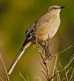 Northern Mockingbird - Bird Species | Frinvelis jishebi | ფრინველის ჯიშები