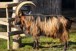 Booted Goat | Goat | Goat Breeds