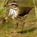 Louisiana Waterthrush - Bird Species | Frinvelis jishebi | ფრინველის ჯიშები