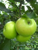 Summer Rambo | Apple Species
