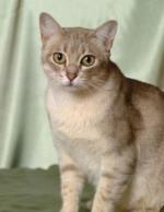 Australian Mist | კატა | კატები | კატის ჯიშები