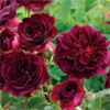 Munstead Wood - Own Root - Rose Varieties | VARDI |  ვარდი