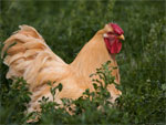 Wyandotte | Chicken | Chicken Breeds