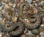 Pituophis catenifer pumilis - Santa Cruz Island Gopher Snake | Snake Species