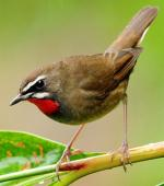 Siberian Rubythroat - Bird Species | Frinvelis jishebi | ფრინველის ჯიშები