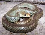 Coluber constrictor oaxaca - Mexican Racer | Snake Species