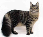 Maine Coon | Cat | Cat Breeds