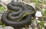 Lampropeltis getula holbrooki - Speckled Kingsnake | Snake Species
