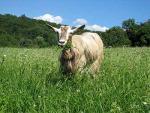 Bionda dell'Adamello Goat - Goats Breeds | txis jishebi | თხის ჯიშები