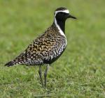 Pacific Golden-Plover - Bird Species | Frinvelis jishebi | ფრინველის ჯიშები