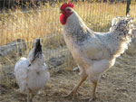Delaware | Chicken | Chicken Breeds