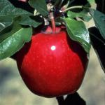 Red Winesap | Apple Species