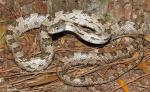 Pantherophis spiloides - Gray Ratsnake | Snake Species