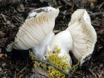 Hygrophorous subalpinus - Fungi Species