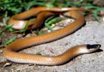 PLAINS BLACK-HEADED SNAKE  <br />Tantilla nigriceps | Snake Species