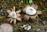 Geastrum floriforme - Fungi Species