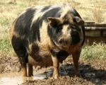 Ossabaw Island - pig breeds | goris jishebi | ღორის ჯიშები