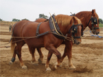 Suffolk Punch | Horse | Horse Breeds