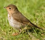 Swainson's Thrush - Bird Species | Frinvelis jishebi | ფრინველის ჯიშები