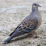 Oriental Turtle-Dove - Bird Species | Frinvelis jishebi | ფრინველის ჯიშები