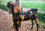 Kamori Goat - Goats Breeds | txis jishebi | თხის ჯიშები