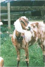 Kaghani Goat - Goats Breeds | txis jishebi | თხის ჯიშები