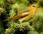 Cape May Warbler - Bird Species | Frinvelis jishebi | ფრინველის ჯიშები