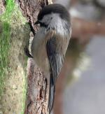 Gray-headed Chickadee - Bird Species | Frinvelis jishebi | ფრინველის ჯიშები