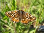 Marsh Fritillary - Butterfly species | PEPLIS JISHEBI | პეპლის ჯიშები