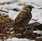 Eurasian Tree Sparrow - Bird Species | Frinvelis jishebi | ფრინველის ჯიშები