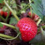 Yamaska | Strawberry Species