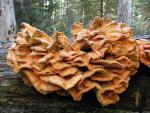 Laetiporus conifericola - Fungi Species