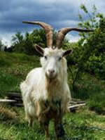 Russian White Goat - Goats Breeds | txis jishebi | თხის ჯიშები