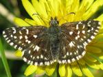 Grizzled Skipper - Butterfly species | PEPLIS JISHEBI | პეპლის ჯიშები