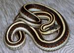 Thamnophis sirtalis fitchi - Valley Gartersnake | Snake Species