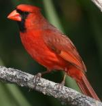 Northern Cardinal - Bird Species | Frinvelis jishebi | ფრინველის ჯიშები