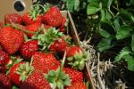 Record | Strawberry Species
