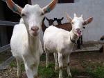 White shorthaired Goat - Goats Breeds | txis jishebi | ???? ??????