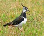 Northern Lapwing - Bird Species | Frinvelis jishebi | ფრინველის ჯიშები