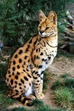African Serval | კატა | კატები | კატის ჯიშები