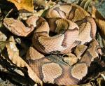 Agkistrodon contortrix contortrix  - Southern Copperhead | Snake Species