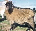 Zhongwei Goat - Goats Breeds | txis jishebi | თხის ჯიშები